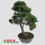 bonsai136_1