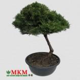bonsai137_1