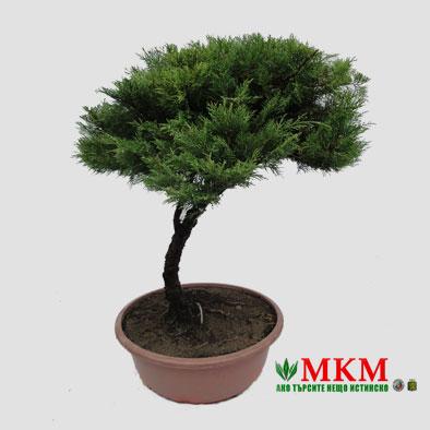 bonsai138