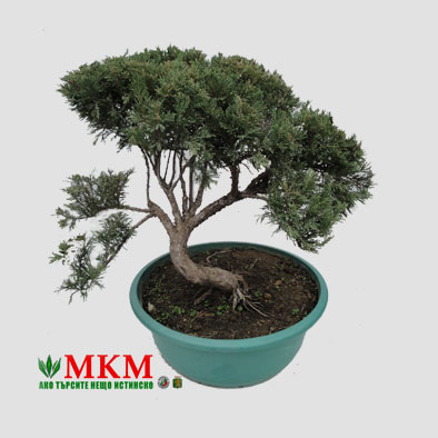 bonsai139