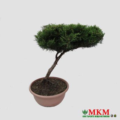 bonsai141-(1)