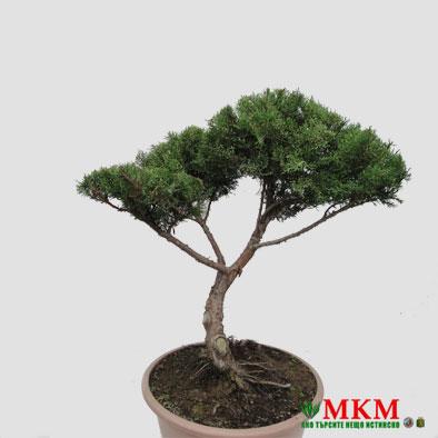 bonsai144-(2)