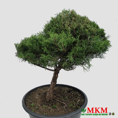 bonsai145