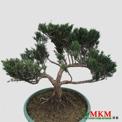 bonsai146