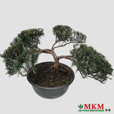 bonsai147