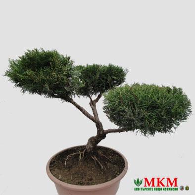 bonsai148
