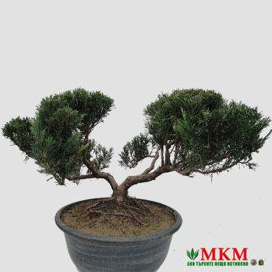 bonsai149
