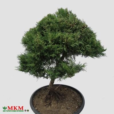 bonsai151