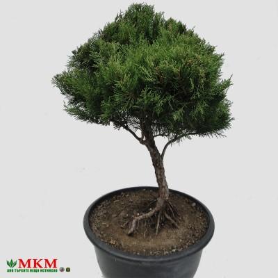 bonsai152