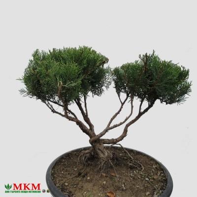 bonsai153
