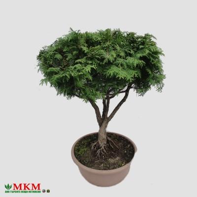 bonsai154