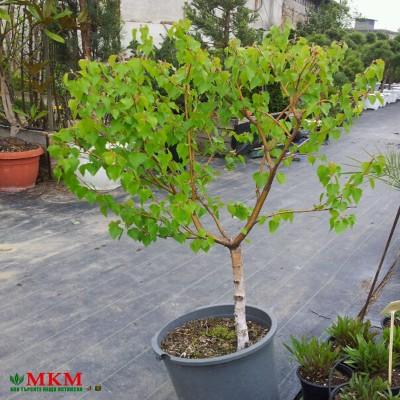 bonsai156