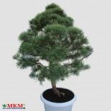 bonsai157-(1)
