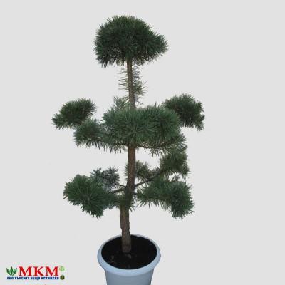 bonsai158