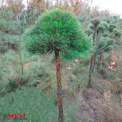 bonsai159-(2)