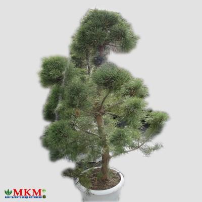 bonsai161
