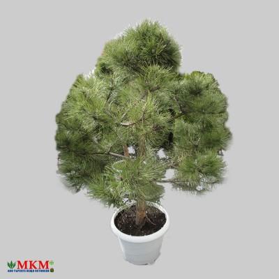 bonsai162
