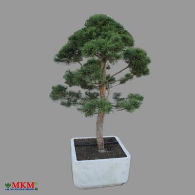 bonsai176