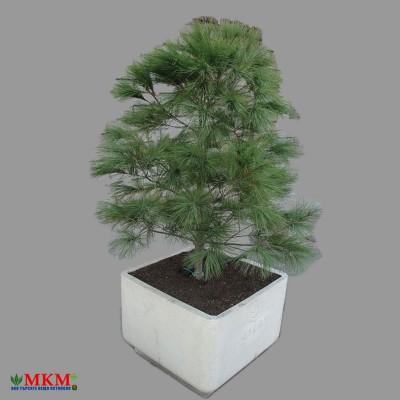 bonsai177