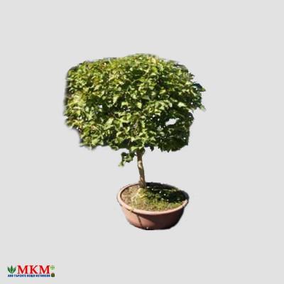 bonsai178_1