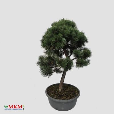 bonsai193