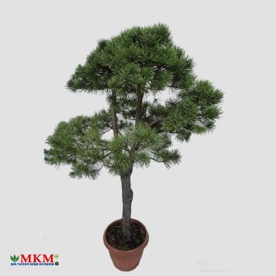 bonsai194
