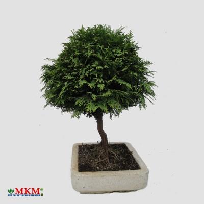 bonsai195