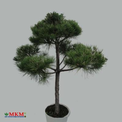 bonsai196