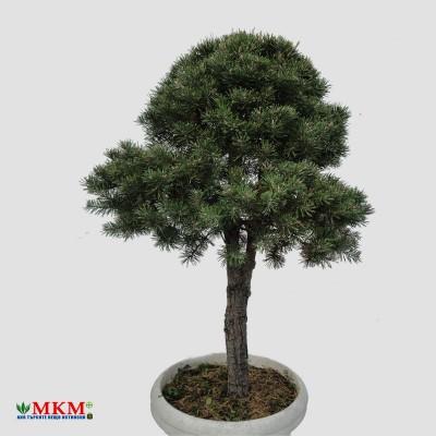 bonsai197