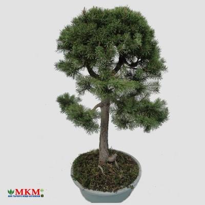bonsai198_1