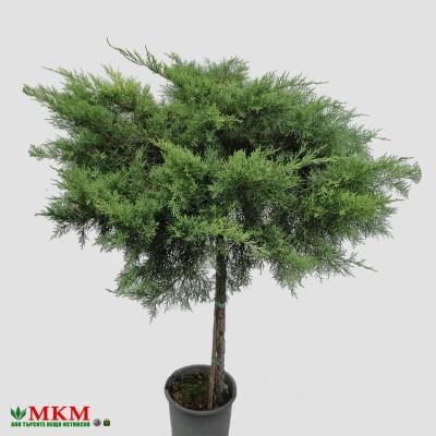bonsai199_2