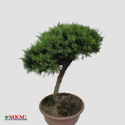bonsai200
