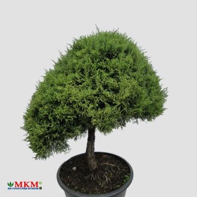 bonsai202
