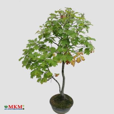 bonsai203