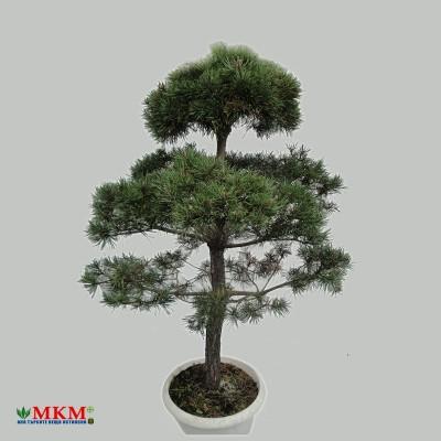 bonsai204