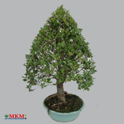bonsai205
