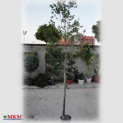 breza-(3)