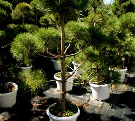Формирани декоративни растения (тип бонсай)